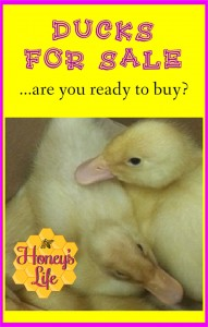 Pekin Ducks for Sale.  Are you ready to buy?  Remember that #DucksAreNotEasterGifts
