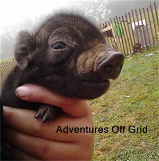 Adventures off grid Interview at HoneysLife.com agh piglet