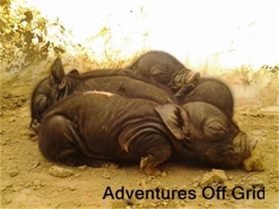 Adventures off grid Interview at HoneysLife.com american guinea hog piglets