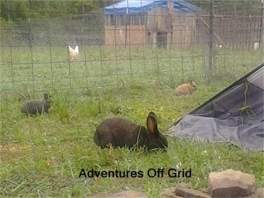 Adventures off grid Interview at HoneysLife.com free range rabbits