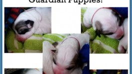 Meet the Fantastic Five our great pyrenees puppies Livestock Guardian Dogs #HoneysPyrs #LGD